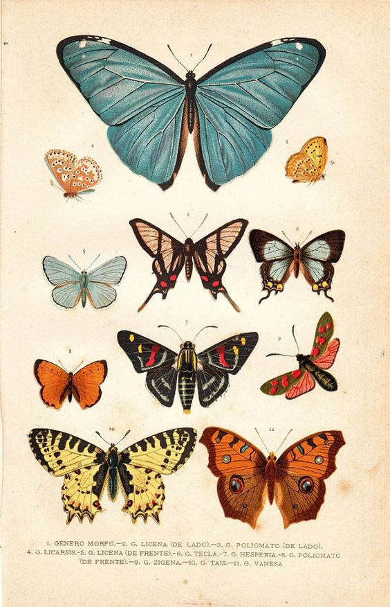 1891 Butterflies Antique Chromolithograph